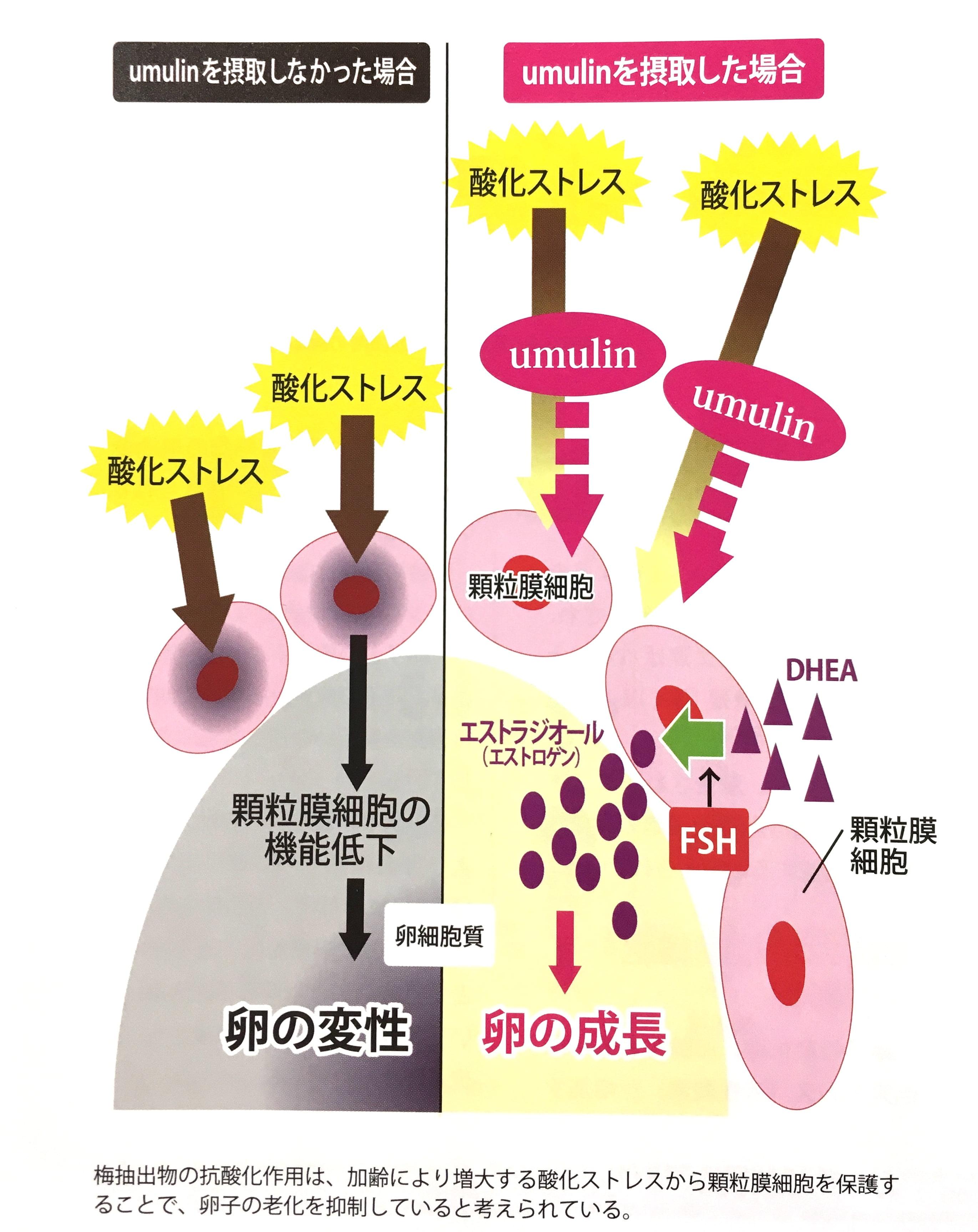 顆粒細胞膜を守るウムリン