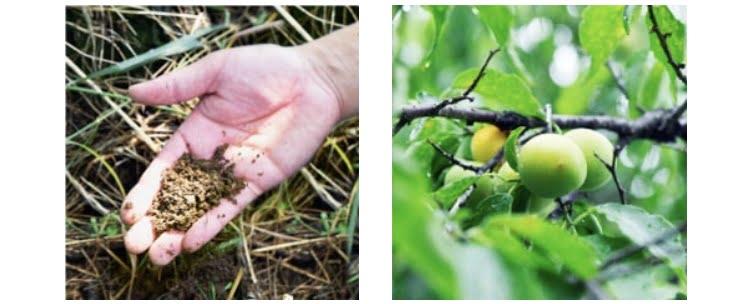 ウムリン 紀州梅栽培